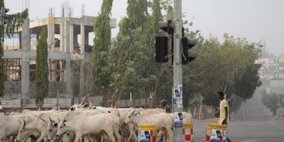 Fulani-Herdsman-Cattle