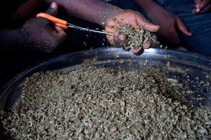 cannabis-marijuana-india-hem